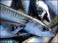 fish-mackerel.jpg
