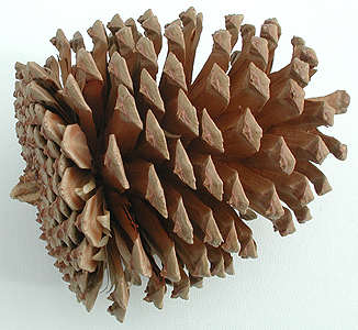pine-cone.jpg