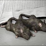 shoe-rats