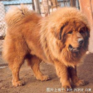 most-expensive-dog-in-the-world