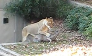 dc zoo deer jumps in with lions