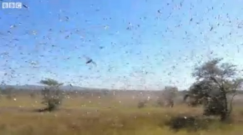 The locusts that have come to Madagascar threaten the food supply of 60% of the island's inhabitants.
