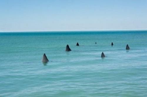 shark migrations