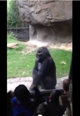 Children get a surprising response from a gorilla at the Dallas Zoo, Wednesday, June 26, 2013.