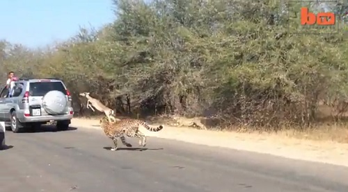 Impala eludes two cheetahs while tourists in South Africa's Kruger National Park watch and record.