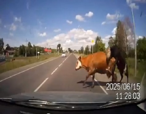 A cow and bull are captured by a dash cam in Russia moments before they are hit by a car in a YouTube video posted Monday.