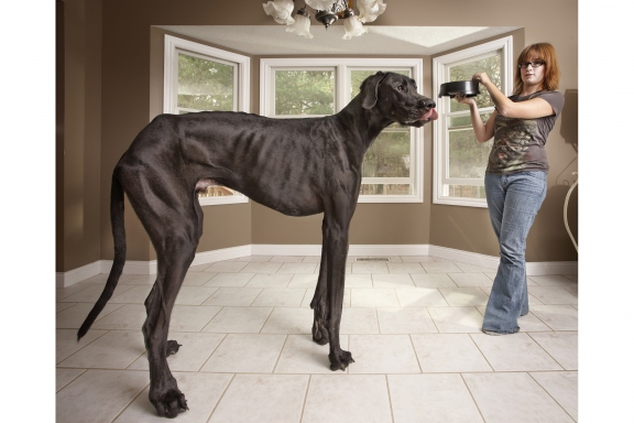 zeus-tallest-dog-guinness-world-records
