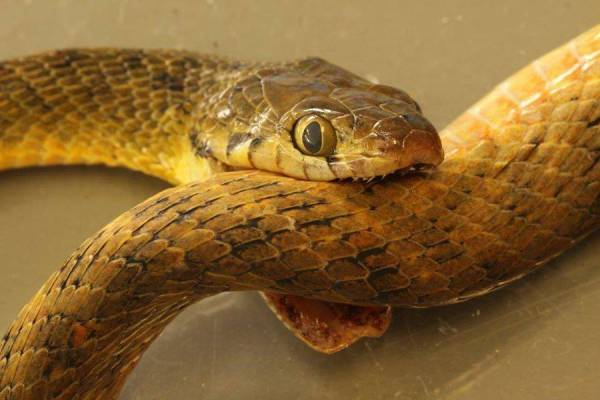 The 1.5m snake had its fangs sunk into its own neck