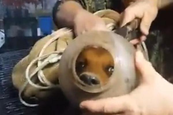 Doggie gets rescued after walking around with his head stuck in this jug