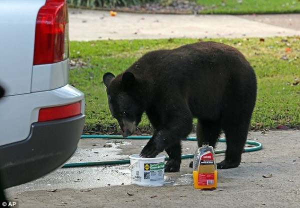 EVEN BLACK BEARS HELP WASH CARS FOR MERCY MISSION HOSPITAL WHEN GIVEN A CHANCE!