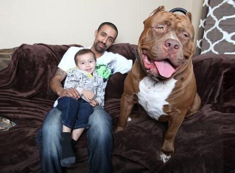 Hulk, the 175 pound pit