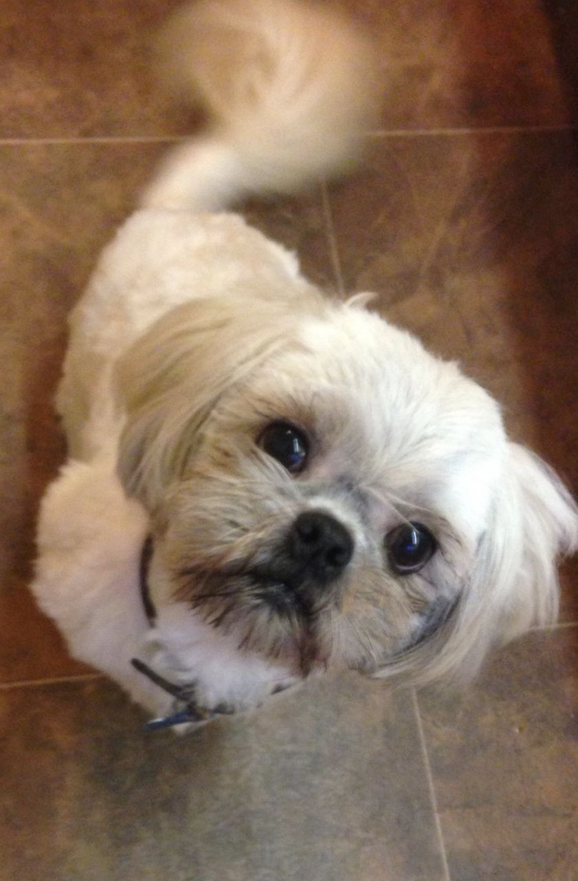 Stock photo of a 2-year-old shih tzu