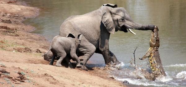 Elephant and croc 1