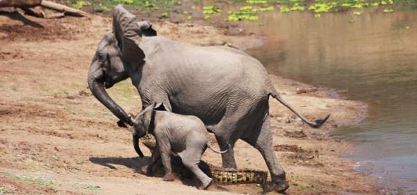 Elephant and croc 7