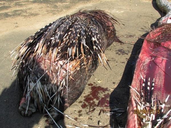 porcupine-dead