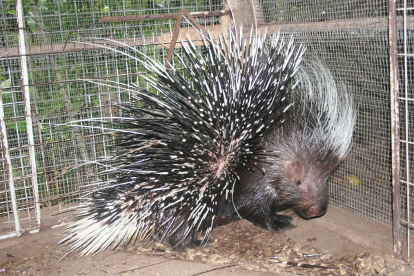 THIS is an image of the porcupine eaten by the python.