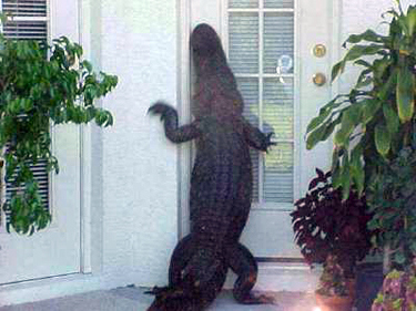 alligator-at-door