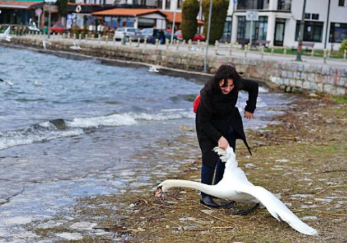 Swan death by tourist