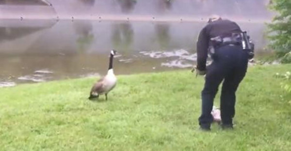 The sergeant was fearful of the goose, so this female officer took over and untangled to baby bird