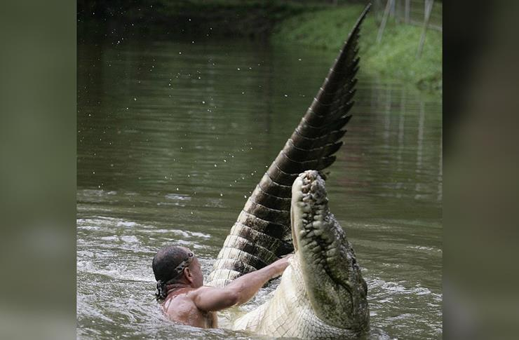 13-pocho-crocodile