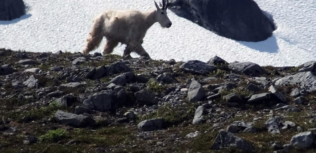 This poor goat is said to have drowned trying to get away from frenzied photo-happy tourists.