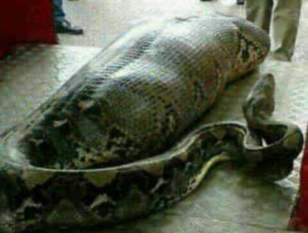 snake eats human