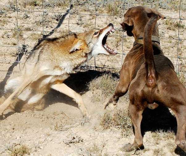 Can A Coyote Attack A Dog