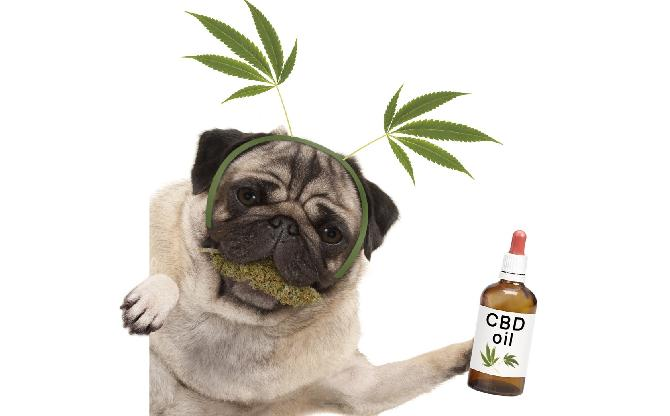 Dog with CBD oil1